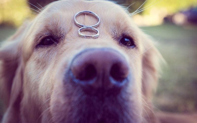 cane porta le fedi al matrimonio
